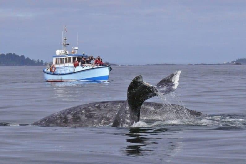 Avistamiento de ballenas The Whale Centre Tofino