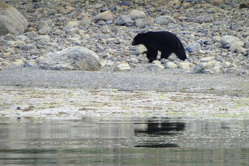 Oso negro en Tofino, Canadá