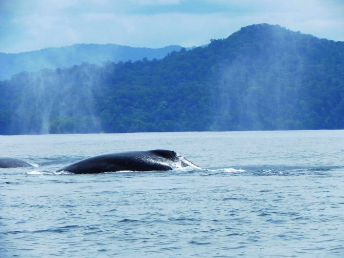 Bahía solano es de las mejores playas de Colombia para ver ballenas en libertad