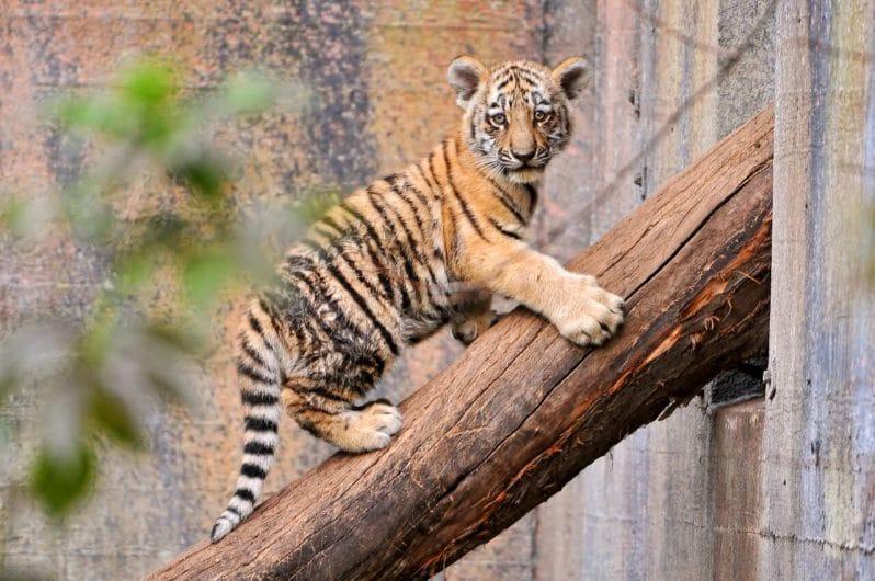 Tigre Zoo Aalborg